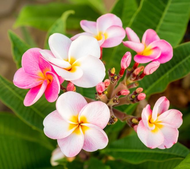romantic getaway Kuaui, Hawaii pink and white flowers