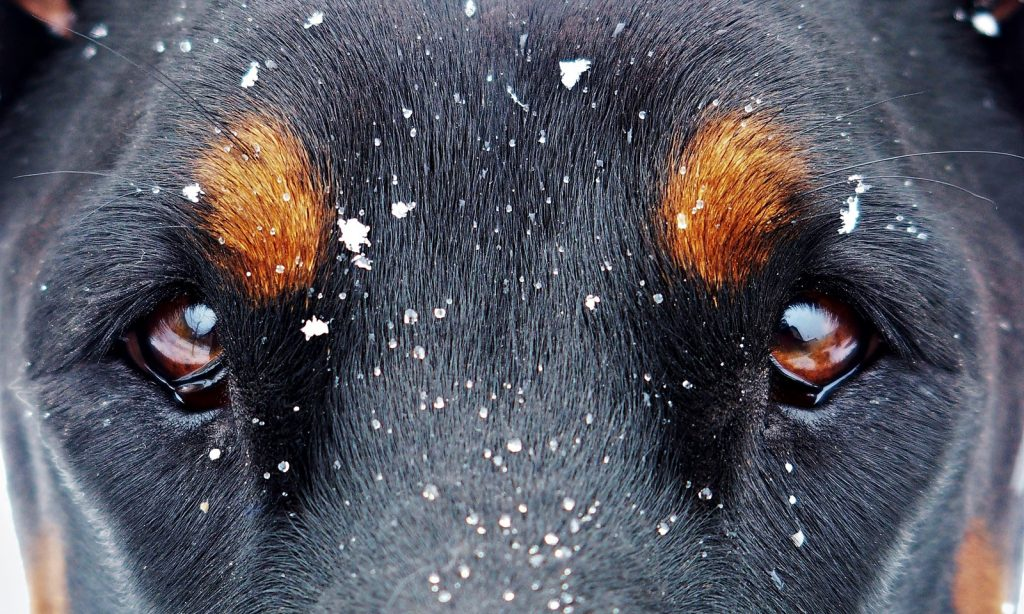 dog-eyes-snow-flakes-Photo-Yama-Zsuzsanna-Márkus-VGM