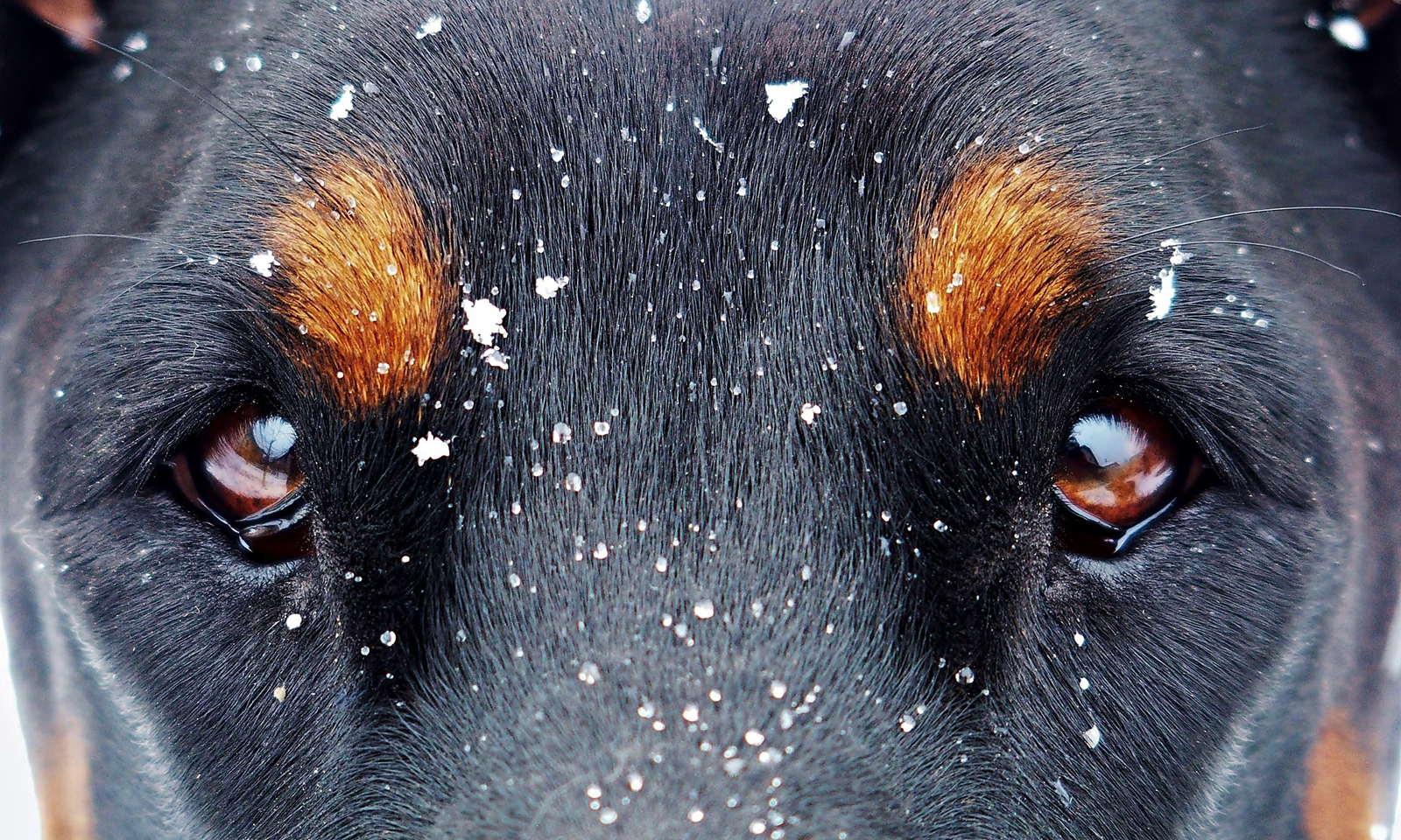 dog-eyes-snow-flakes-Photo-Yama-Zsuzsanna-Márkus-VGM