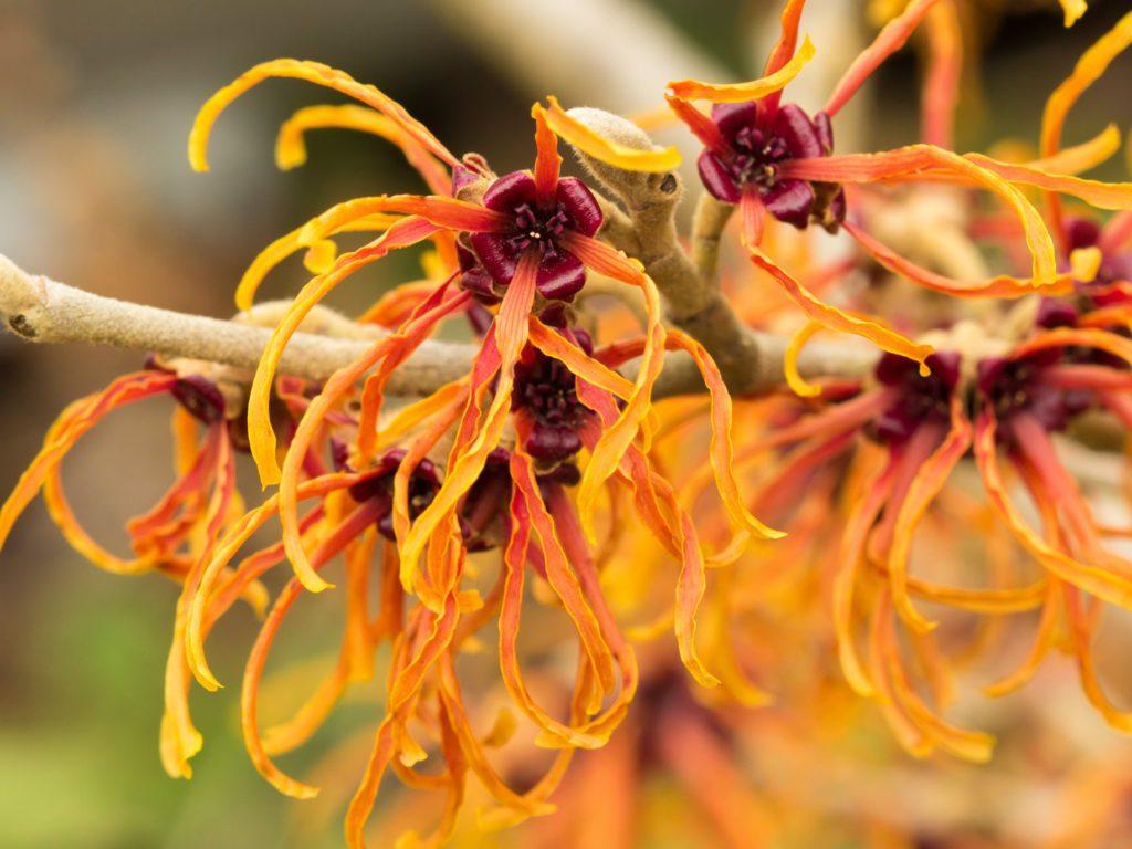 witch-hazel-plant-beauty-uses-cosmetics-skincare