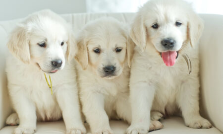 tips-for-new-dog-owners-puppies-sitting-on-couch-puppy