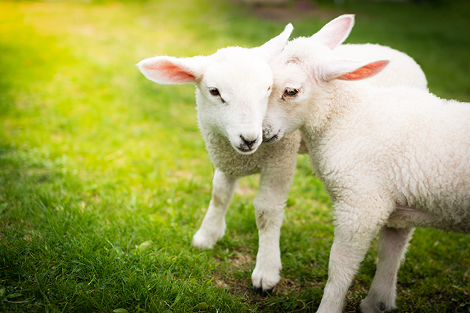 baby-sheep-playing-in-field