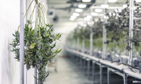 weed-cannabis-cbd-marijuana