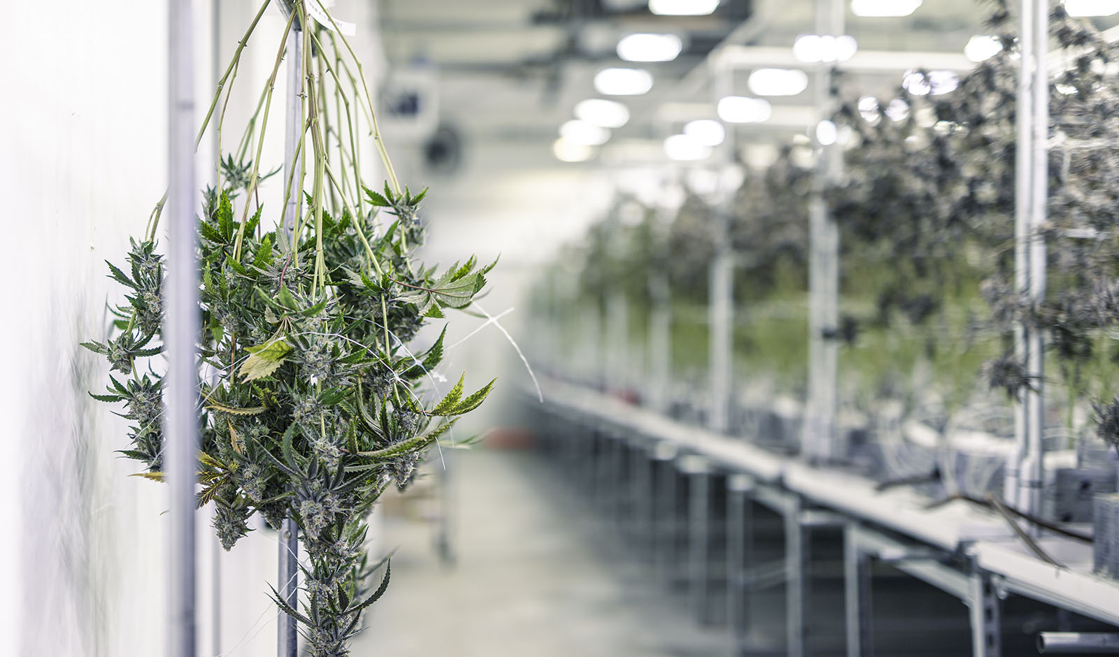 Marijuana Plant Branches with Buds Hanging for Harvest