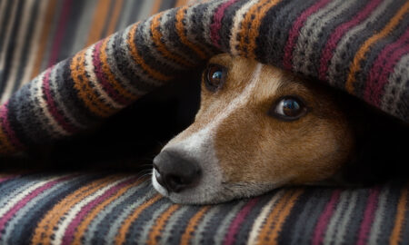 beauty-routine-dog-and-you-can-enjoy-together-dog-under-covers