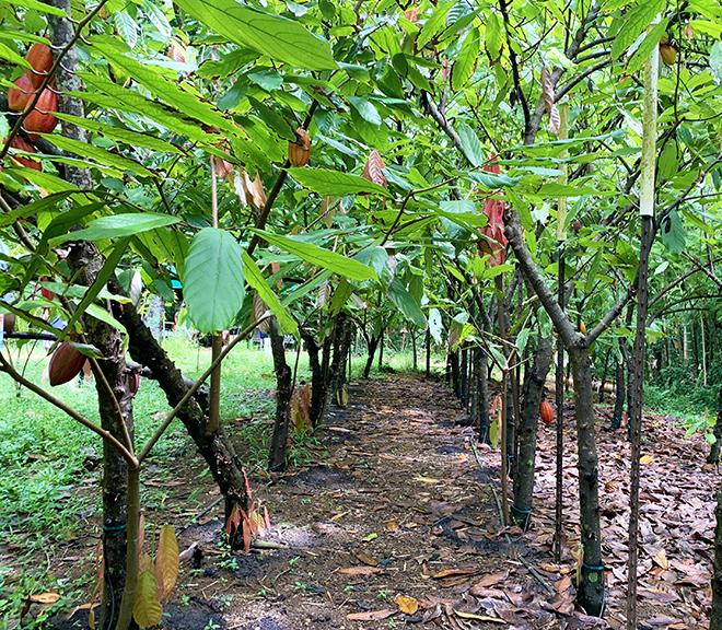 lydgate-farms-chocolate-tour-kauai-hawaii-viva-glam-magazine (6)