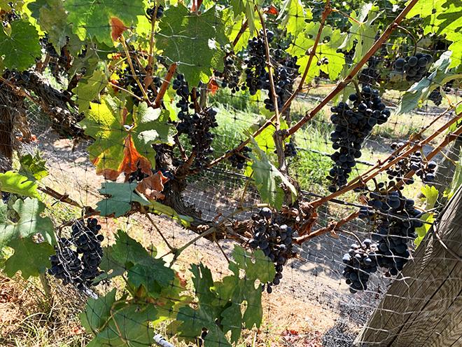 the-stonehaus-westlake-village-inn-travel-viva-glam-vineyard-grapes